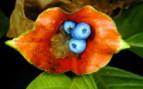 Hot Lip Plants