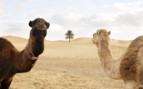 Groovy camels