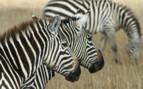 Zebras in Southern Kenya