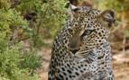 Leopard in Samburu