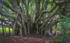 Bermuda tree