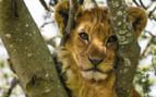 Tanzania Lion Cub