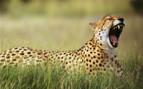 Ruaha Park Cheetah