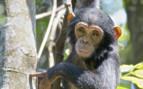Baby Monkey Western Tanzania