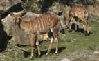 Wild Malawi Deer