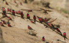 Southern Carmine Bee Eaters in Zimbabwe