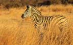 Zebra in the Grass