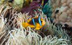 Image of a clownfish
