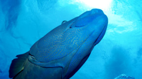 Picture of Maori Wrasse from below in Australia