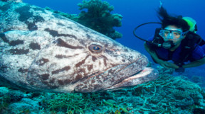 Picture of diving with a Potato Cod in Australia