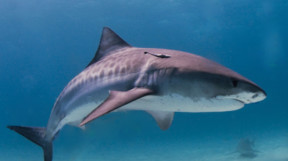 Picture of a tiger shark in Beqa Lagoon