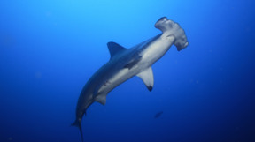 Picture of hammerhead in the Bahamas