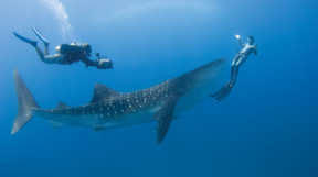 A whale shark with diver and free-diver