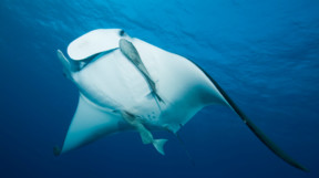 Manta ray in the blue with a pilot fish