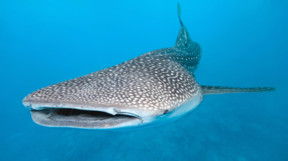 Picture of Whaleshark