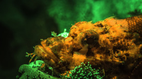 Scorpionfish in fluorescent colours orange and surrounding green