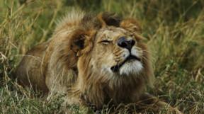 Masai Mara contented lion
