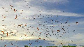 Flying foxes in Komodo