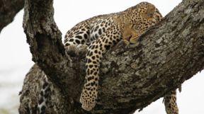 Sleeping Leopard, Zambia