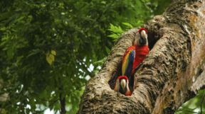 Parrots, Costa Rica