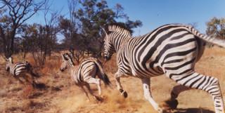 Zebra galloping through the bush