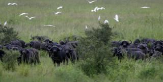 Chada Buffalo in Western Tanzania