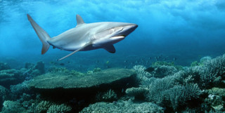 Picture of Red Sea shark