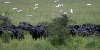A Herd of Buffalo