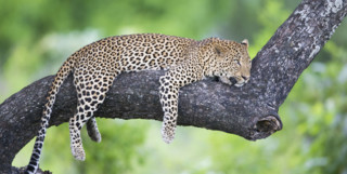 Leopard lying on a tree branch
