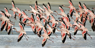Flamingos in flight - Tanzania