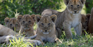 Group of lion cubs in Kenya