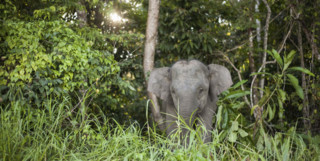 Pygmy Elephant, Sabah