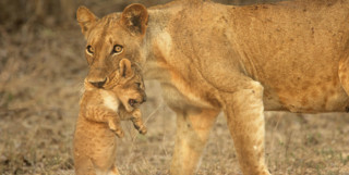 Lioness Carrying a Cub