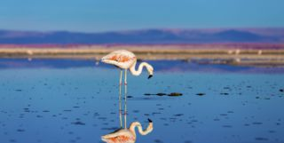 Pink Flamingo in the Atacama Desert, Chile