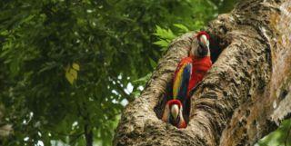Costa Rica Parrots