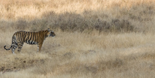 Tiger in Central India