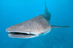Picture of a whale shark from the front