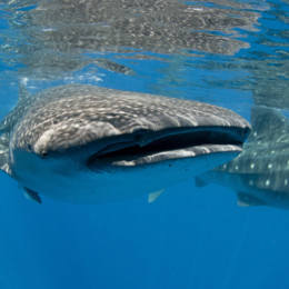 Picture of a whaleshark in the Maldives