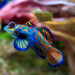 Picture of a mandarin fish